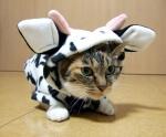 Cow cat