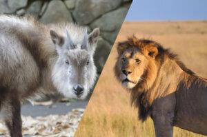 ライオンとカモシカ